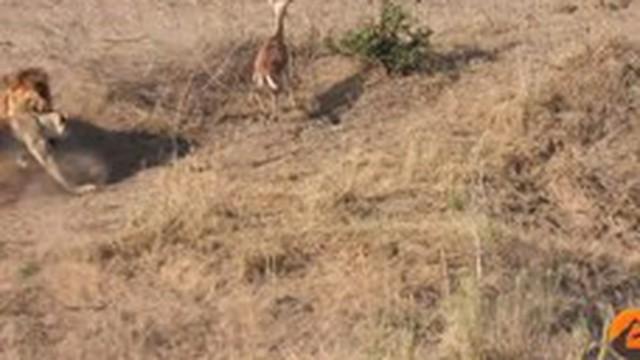 Thế giới động vật: 2 con sư tử đâm sầm vào nhau để sổng mất linh dương