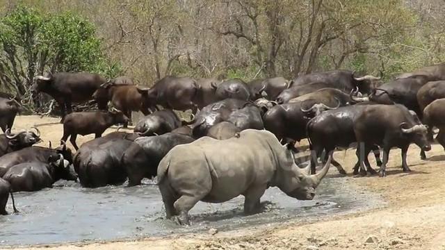 Thế giới động vật: Trâu dạt về 1 bên để nhường chỗ cho tê giác tắm