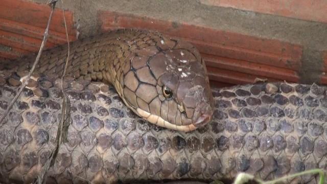 """Cận cảnh cặp rắn """"khủng"""" nặng 60kg, đầu to bằng nửa cục gạch vừa bắt được ở chân núi Cấm"""