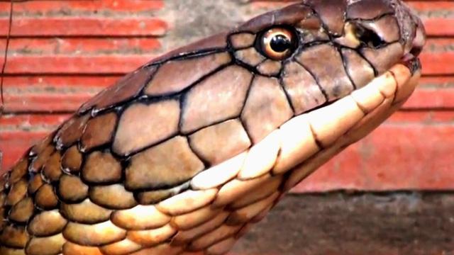 """Đổ xô đi xem rắn hổ mang chúa """"khổng lồ"""", du khách """"vỡ mộng"""""""