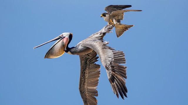 Bồ nông 've vãn' quanh tổ, chim ưng điên tiết đáp trả bằng đòn hiểm