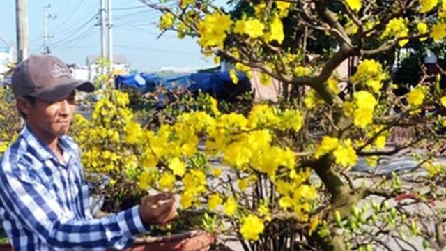 Mai vàng Nhơn An đắt khách dự thu khoảng 30 tỷ đồng