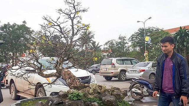 Chuyên gia 'bóc giá' cây mai vàng 5 tỷ đồng ở Quảng Bình