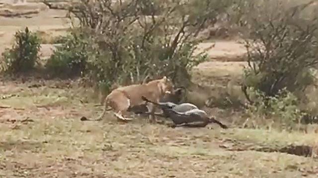 Mai phục tài tình, sư tử dễ dàng hạ sát linh dương đầu bò