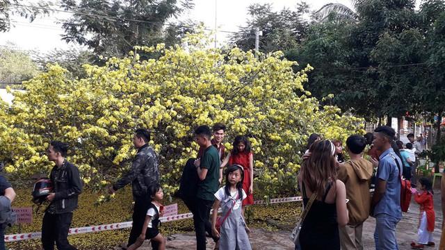 """Người dân nườm nượp đổ về chụp ảnh bên cây mai """"khủng"""" 55 năm tuổi"""