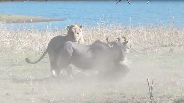 """Video: Đàn sư tử cùng nhau """"xử tử"""" linh dương đầu bò"""
