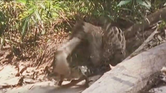 VIDEO: Báo đốm 'no đòn' vì tấn công cá sấu