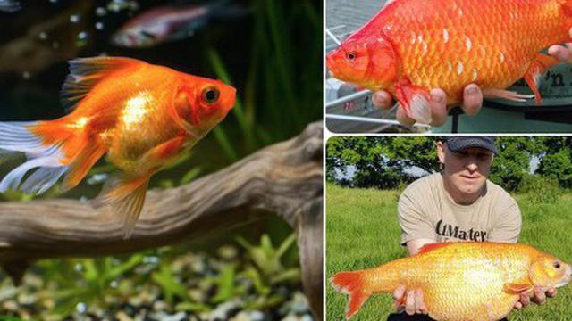 Cá vàng sống được hơn 40 năm, có thể hóa thành khổng lồ nhưng tại sao con cá bạn nuôi không được như thế?