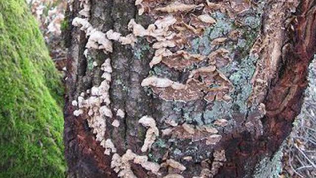 Nguy cơ một loài nấm có khả năng huỷ diệt nhiều cánh rừng ở Pháp