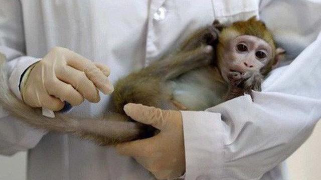 Các nhà khoa học Trung Quốc đang tạo ra những con khỉ có bộ não ngày càng giống người