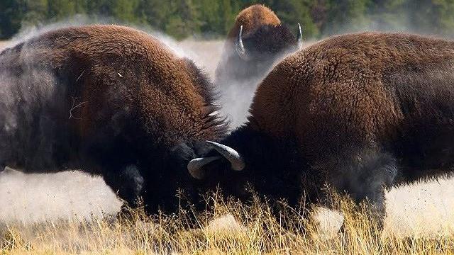 Trận chiến quyết liệt giành con cái của bò rừng Bison