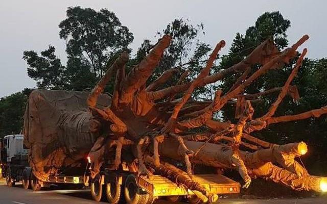 3 cây gỗ khủng đi qua nhiều tuyến đường ở Đắk Lắk không bị phát hiện vì lực lượng còn mỏng