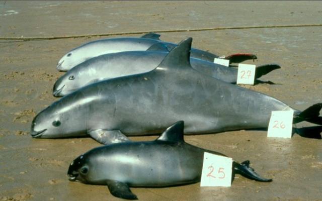 Loài cá heo nhỏ bé quý hiếm nhất hành tinh, cả Trái Đất chỉ còn lại chưa đến 10 con