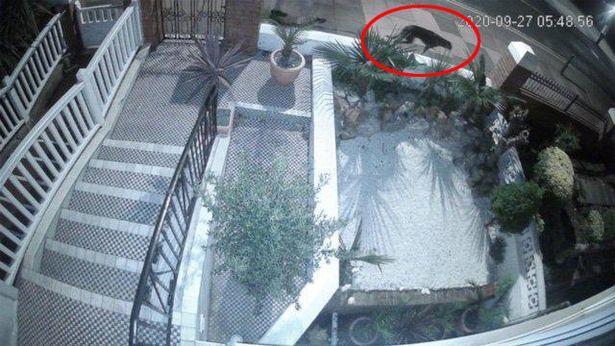 Nhìn qua camera an ninh, người phụ nữ sốc khi thấy 1 con vật màu đen to lù lù đi qua nhà - Ảnh 1.