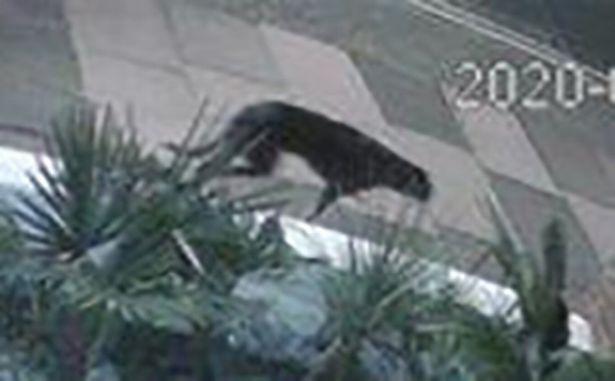 Nhìn qua camera an ninh, người phụ nữ sốc khi thấy 1 con vật màu đen to lù lù đi qua nhà - Ảnh 2.