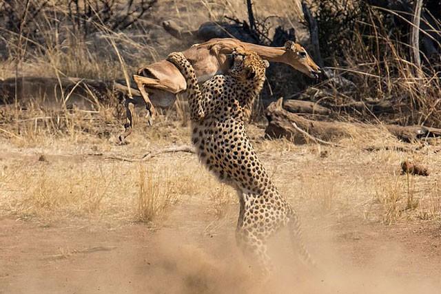 Sự thật bất ngờ phía sau cảnh tượng báo săn 'vác' linh dương Impala - Ảnh 3.