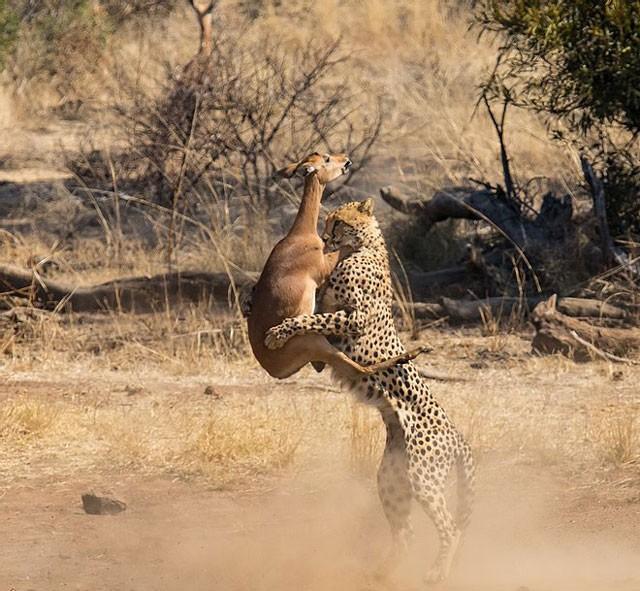 Sự thật bất ngờ phía sau cảnh tượng báo săn 'vác' linh dương Impala - Ảnh 4.
