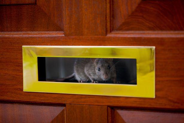 Cơn ác mộng mới của dân Anh: Chuột đột nhập vào nhà qua ống cống, có con to bằng con thỏ - Ảnh 1.