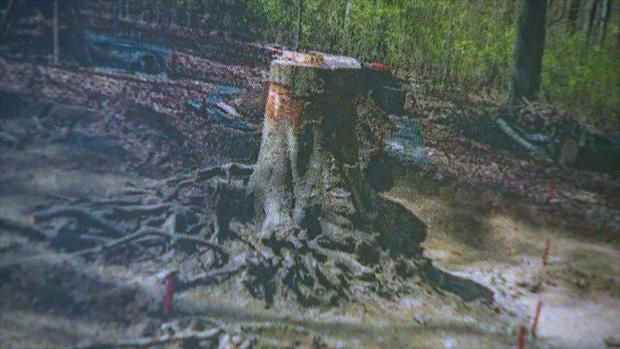Phần gốc cây đã mọc đè lên thi hài của Gray