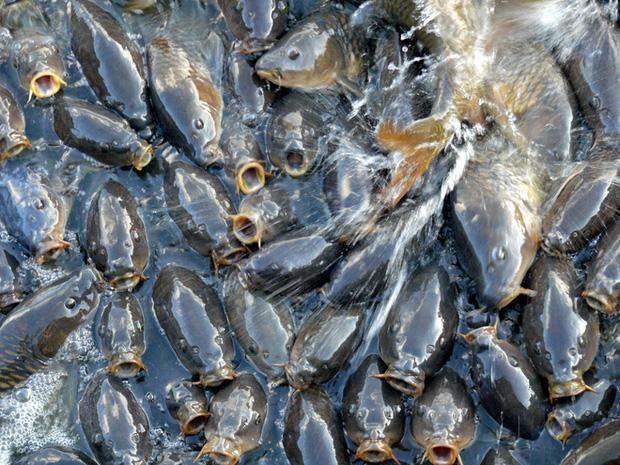 Có lẽ không ai đủ tự tin nói rằng mình có thể đếm hết số cá trong hồ nước này