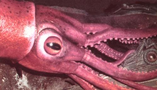 Một con mực có đôi mắt khổng lồ ám ảnh người đối diện. Sự tồn tại của mực khổng lồ đã từng được coi là một hiện tượng bí ẩn.