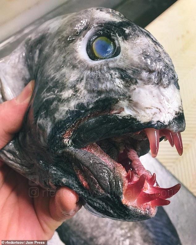 Một con cá mặt quỷ có hàm răng thủy tinh nhọn hoắt.