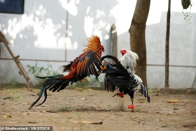 Philippines: Cảnh sát trưởng thiệt mạng thương tâm vì một con gà chọi - Ảnh 2.