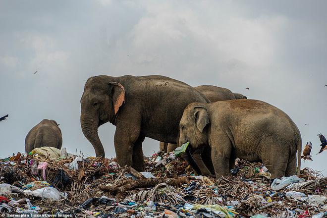Cảnh tượng nhói lòng: Đàn voi xác xơ quanh quẩn kiếm ăn bên một bãi rác khổng lồ, ăn phải rác nhựa và toàn những thứ không thể tiêu hóa - Ảnh 1.
