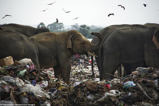 Cảnh tượng nhói lòng: Đàn voi xác xơ quanh quẩn kiếm ăn bên một bãi rác khổng lồ, ăn phải rác nhựa và toàn những thứ không thể tiêu hóa - Ảnh 2.