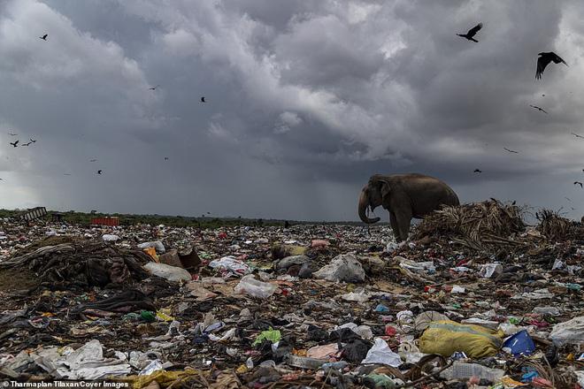 Cảnh tượng nhói lòng: Đàn voi xác xơ quanh quẩn kiếm ăn bên một bãi rác khổng lồ, ăn phải rác nhựa và toàn những thứ không thể tiêu hóa - Ảnh 6.