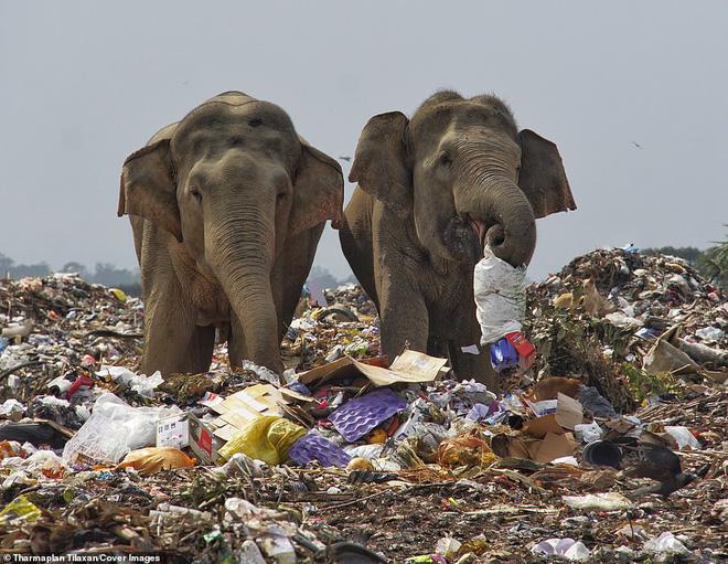 Cảnh tượng nhói lòng: Đàn voi xác xơ quanh quẩn kiếm ăn bên một bãi rác khổng lồ, ăn phải rác nhựa và toàn những thứ không thể tiêu hóa - Ảnh 3.