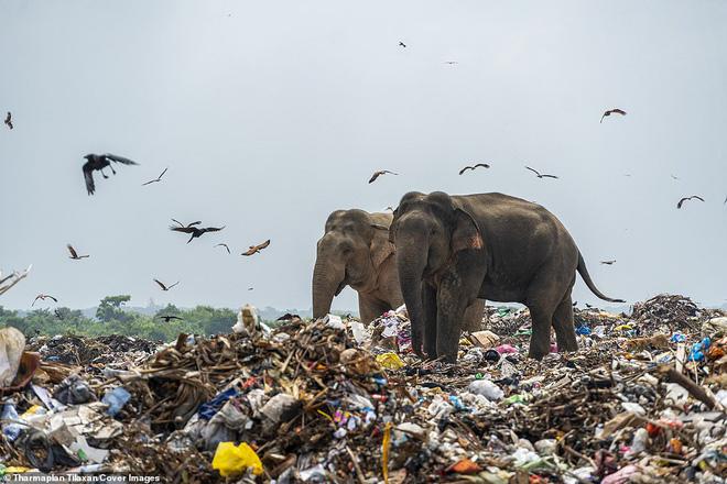 Cảnh tượng nhói lòng: Đàn voi xác xơ quanh quẩn kiếm ăn bên một bãi rác khổng lồ, ăn phải rác nhựa và toàn những thứ không thể tiêu hóa - Ảnh 4.
