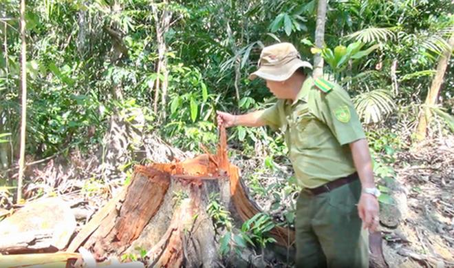 Bắt thêm 3 đối tượng trong vụ phá rừng quy mô lớn ở Phú Yên - Ảnh 6.