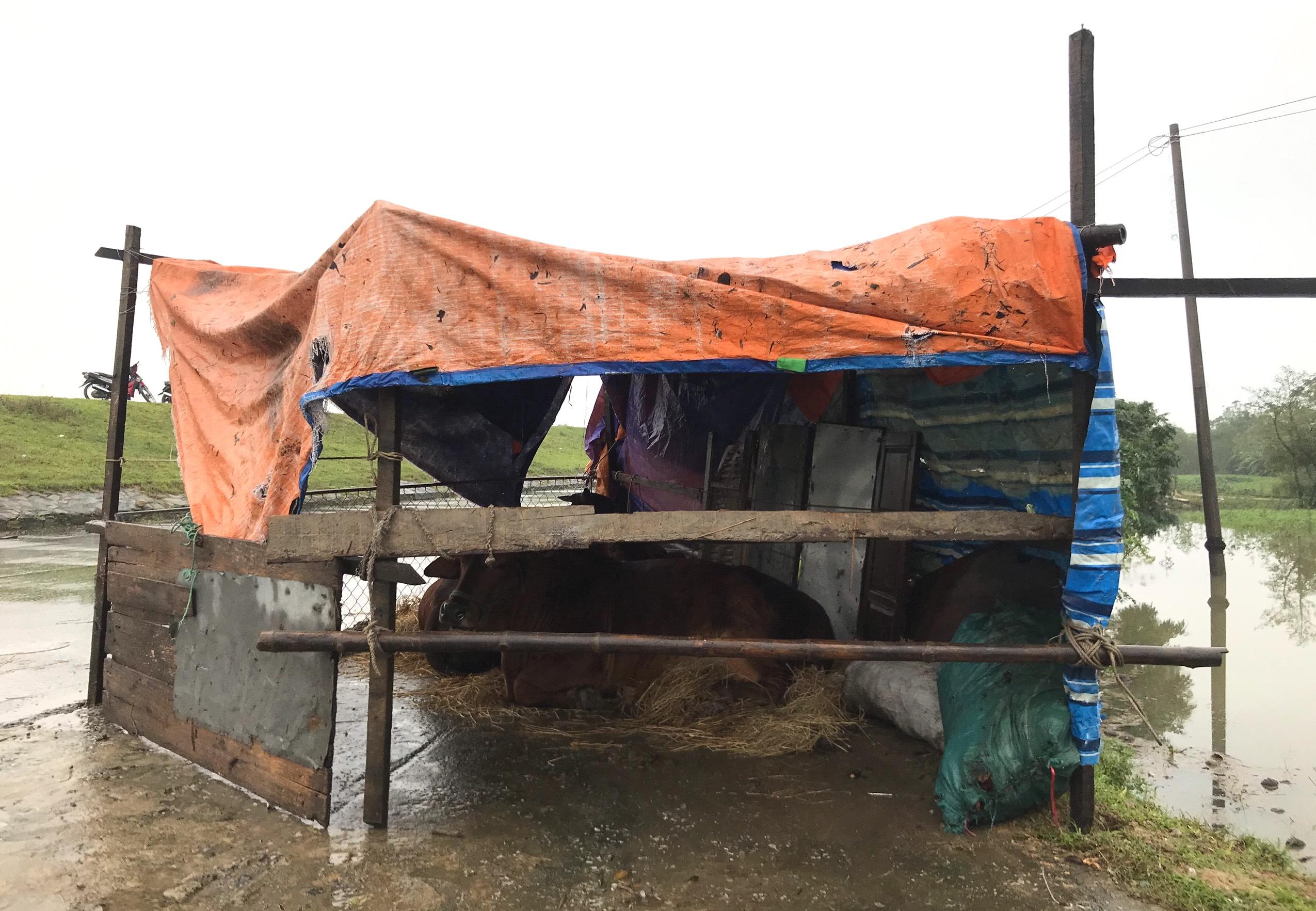 Nghệ An: Người dân ven sông phải lên đê dựng lều cho trâu bò trú ẩn - Ảnh 15.
