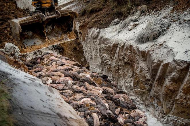 Chùm ảnh kinh hoàng: Hàng triệu con chồn bị thảm sát tại Đan Mạch sau khi phát hiện có dấu vết virus corona chủng đột biến - Ảnh 2.