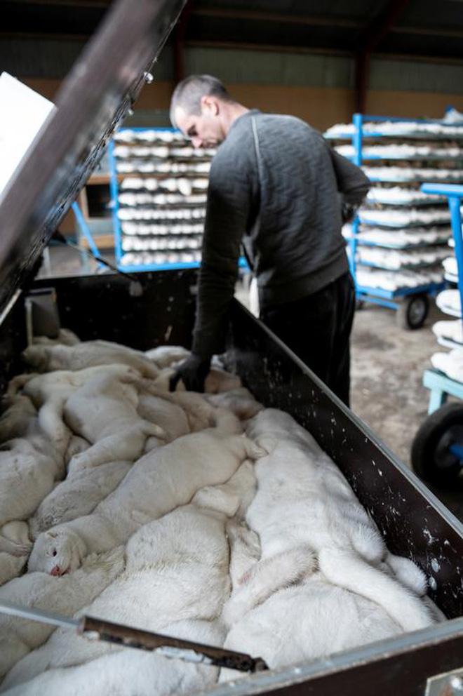Chùm ảnh kinh hoàng: Hàng triệu con chồn bị thảm sát tại Đan Mạch sau khi phát hiện có dấu vết virus corona chủng đột biến - Ảnh 7.