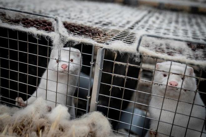 Chùm ảnh kinh hoàng: Hàng triệu con chồn bị thảm sát tại Đan Mạch sau khi phát hiện có dấu vết virus corona chủng đột biến - Ảnh 9.