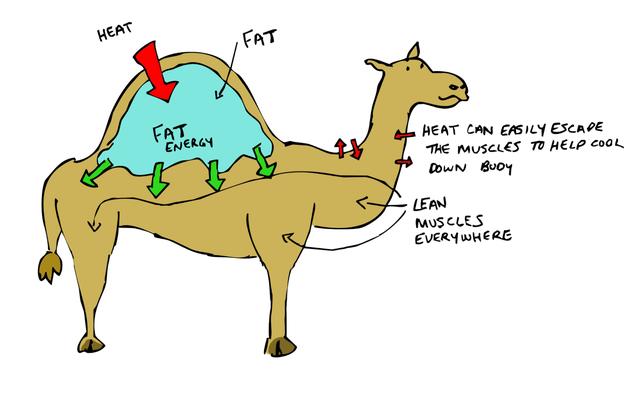 Có gì bên trong bướu của lạc đà, tại sao chúng có thể nhịn khát lâu đến thế? - Ảnh 2.