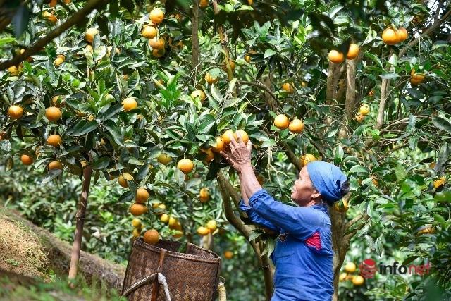 Đưa giống cam nổi tiếng ở Hòa Bình về trồng, dân Cao Sơn đổi đời thu hàng chục triệu đồng - Ảnh 1.