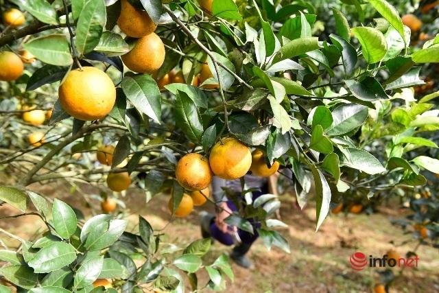 Đưa giống cam nổi tiếng ở Hòa Bình về trồng, dân Cao Sơn đổi đời thu hàng chục triệu đồng - Ảnh 2.