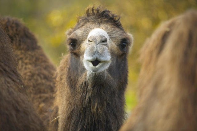 Có gì bên trong bướu của lạc đà, tại sao chúng có thể nhịn khát lâu đến thế? - Ảnh 3.