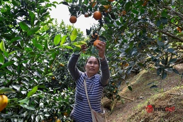 Đưa giống cam nổi tiếng ở Hòa Bình về trồng, dân Cao Sơn đổi đời thu hàng chục triệu đồng - Ảnh 3.