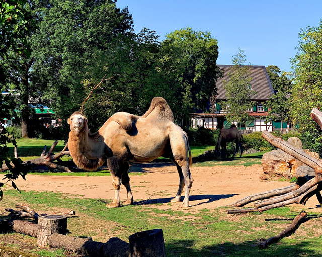 Có gì bên trong bướu của lạc đà, tại sao chúng có thể nhịn khát lâu đến thế? - Ảnh 4.