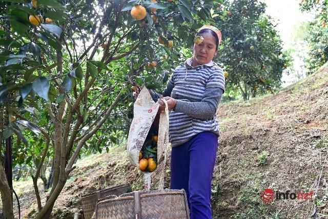 Đưa giống cam nổi tiếng ở Hòa Bình về trồng, dân Cao Sơn đổi đời thu hàng chục triệu đồng - Ảnh 4.