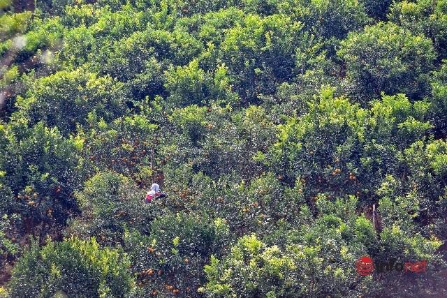 Đưa giống cam nổi tiếng ở Hòa Bình về trồng, dân Cao Sơn đổi đời thu hàng chục triệu đồng - Ảnh 9.