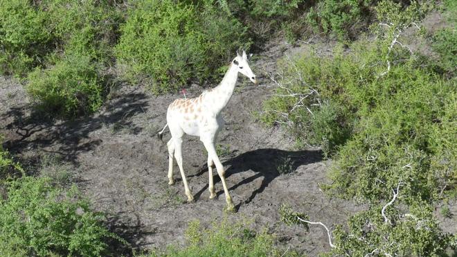 Con hươu cao cổ trắng duy nhất trên thế giới này hiện được bảo vệ bởi công nghệ GPS Tracker - Ảnh 1.