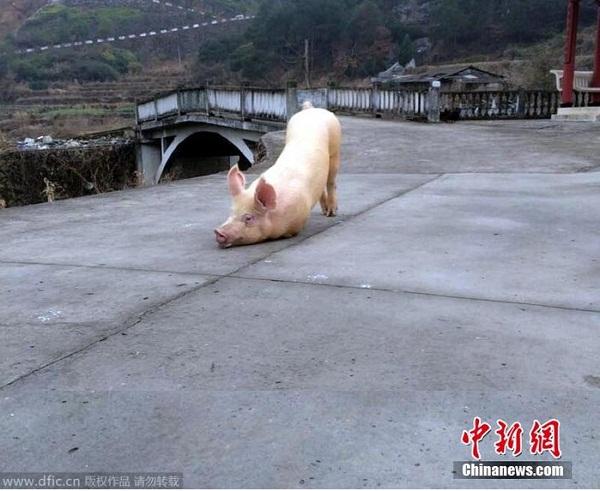 Clip chú lợn quỳ gối hàng tiếng đồng hồ trước cửa chùa khi bị bắt tới lò mổ khiến dân mạng dậy sóng - Ảnh 1.