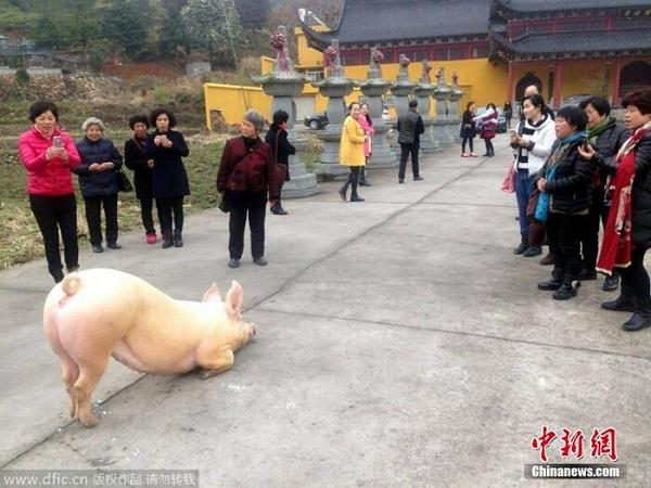 Clip chú lợn quỳ gối hàng tiếng đồng hồ trước cửa chùa khi bị bắt tới lò mổ khiến dân mạng dậy sóng - Ảnh 2.