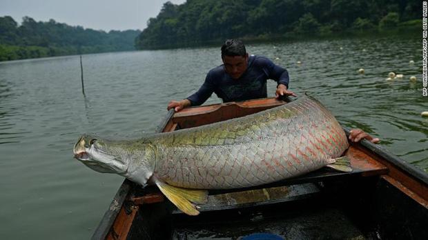 Khi 'Kẻ hủy diệt' của rừng Amazon gặp thảm cảnh vì điểm yếu chí mạng: Chúng... quá ngon - ảnh 6