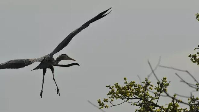 Thiên nhiên dữ dội: Cá chình đâm thủng diều chim diệc để chui ra ngoài sau khi bị nuốt sống - Ảnh 1.